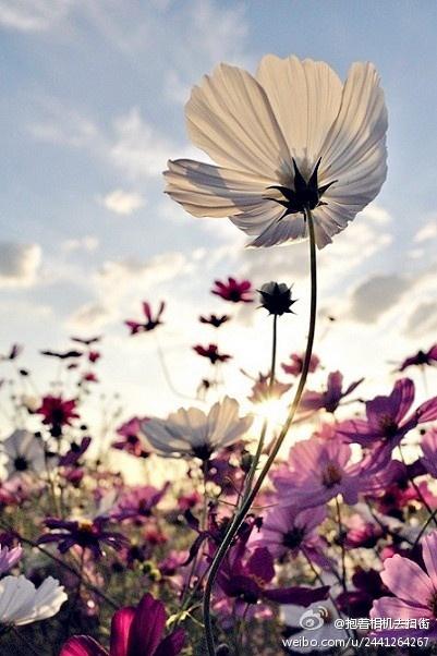 So pretty.Photos, Beautiful Flower, Wild Flower, Wildflowers, White Flower, Nature, Gardens, Cosmos, Pretty Flower