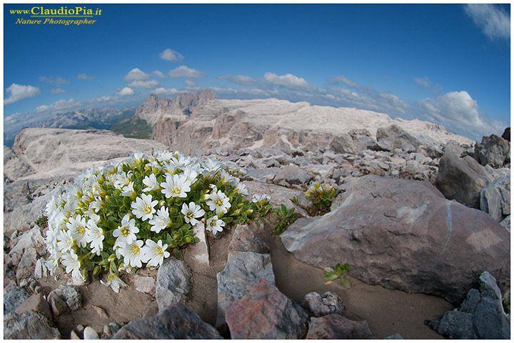 cerastium latifolium, fiori di montagna, alpini, fotografia, foto, alpine flowers, dolomiti