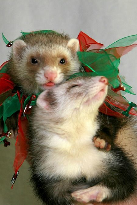 These two cute ferrets certainly don't need mistletoe to get their Christmas smooches ready
