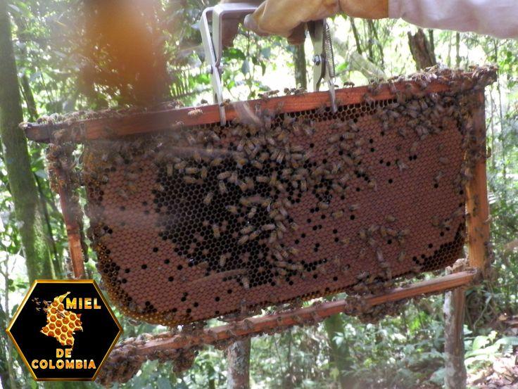 Las abejas, hacen su aparición en el mundo, en las postrimerías de la era terciaria hacen unos 150 millones de años, podemos decir entonces, que su presencia es anterior a la de hombre.