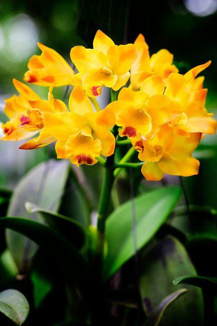 Orquídeas amarelas - um luxo!!!