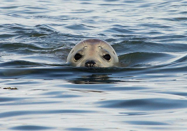 Wary seal off Yorkshire coast