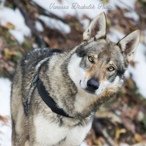 Get Your Daily Dose of Czechoslovakian Wolfdog Moments »