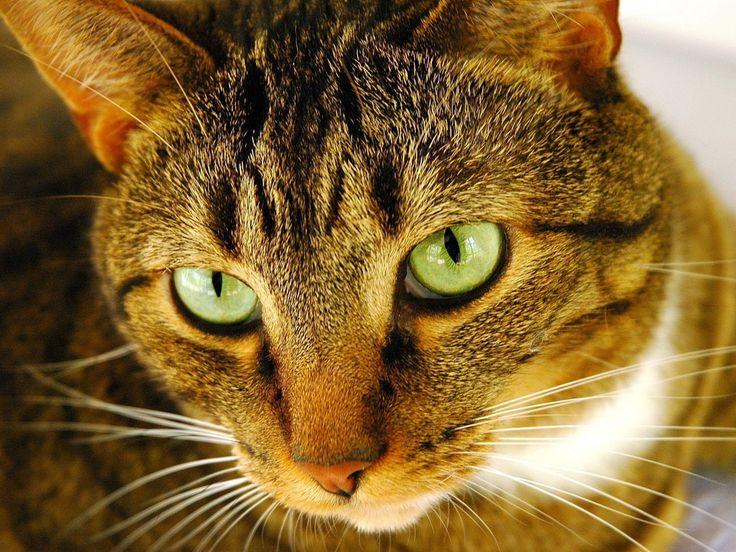 Как вывести блох у кошки - рецепты средств для выведения блох у домашних…