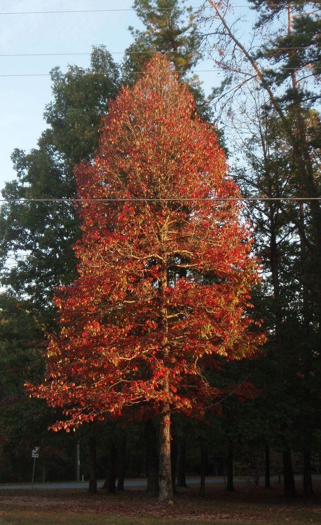 Nyssa Sylvatica Blackgum Black Gum Black Tupelo Sour Gum North Carolina Extension Gardener Plant Toolbox Tupelo Tree Nyssa Deciduous Trees