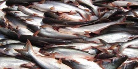 Ternak Patin - Budidaya ikan patinatau biasa disebut ternak patin adalah salah satu komonditi ikan air tawar yang bisa di budidaya dengan...