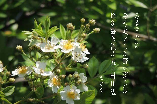 短歌 依田多賀子 ふるさとに 今も咲きしか 野いばらは…
