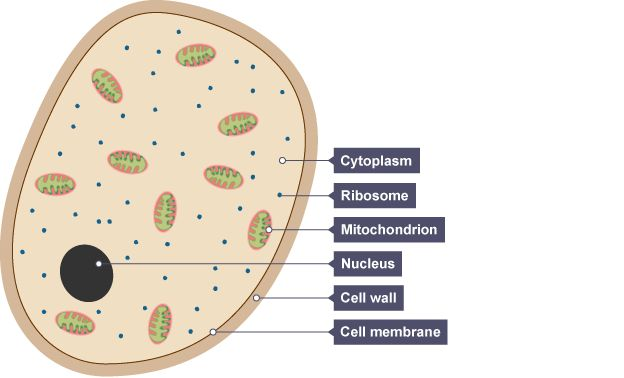 a yeast cell showing cytoplasm the small ribosomes the on cell wall function id=66707