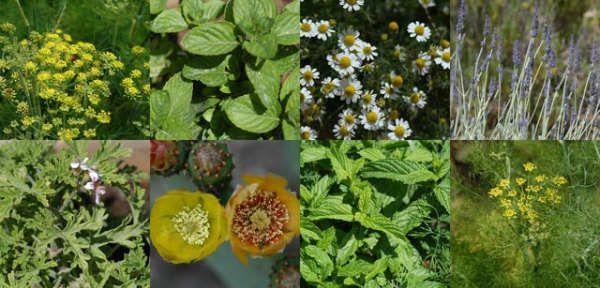 Ιδιότητες και χρήσεις αρωματικών φυτών και βοτάνων. ~ Eπιστροφή στη φύση