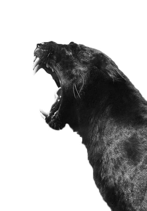 Filth Flarn Filth animal, photography, black and white, jaguar, teeth, big cat, roar, feline, black jaguar
