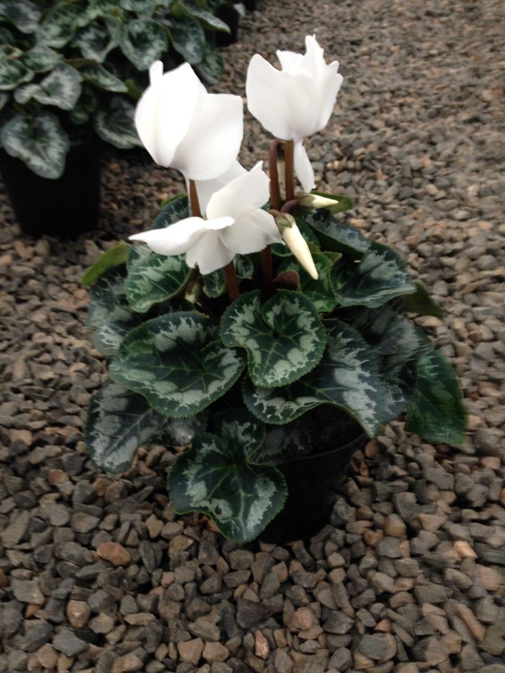 flowering cyclamen in 14cm pot available at www.summerhillnurseries.com.au