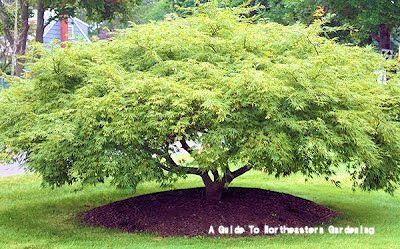 Acer palmatum dissectum 'Viridis' (Weeping Japanese Maple)    Height: 6-8 ft  Width: 8-10 ft