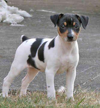Free Rat Terrier | Pictures > Dogs > Terrier Dogs > Rat Terriers