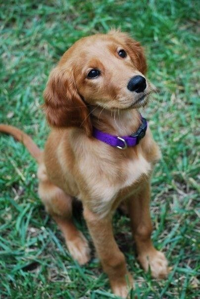 Cute Golden Retriever Puppies - Puppy Pictures