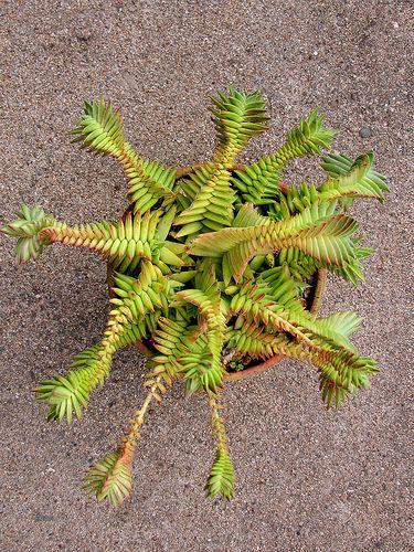 Succulent Plant Information: Crassula capitella subsp. thyrsiflora 'Red Pagoda'...