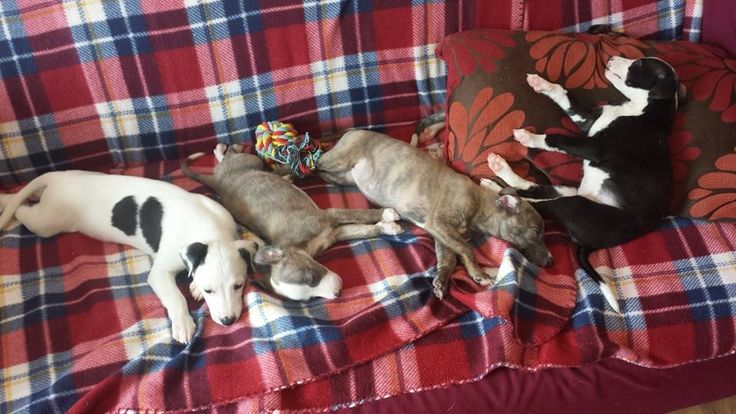17 Best Images About Italian Greyhound And Whippet World