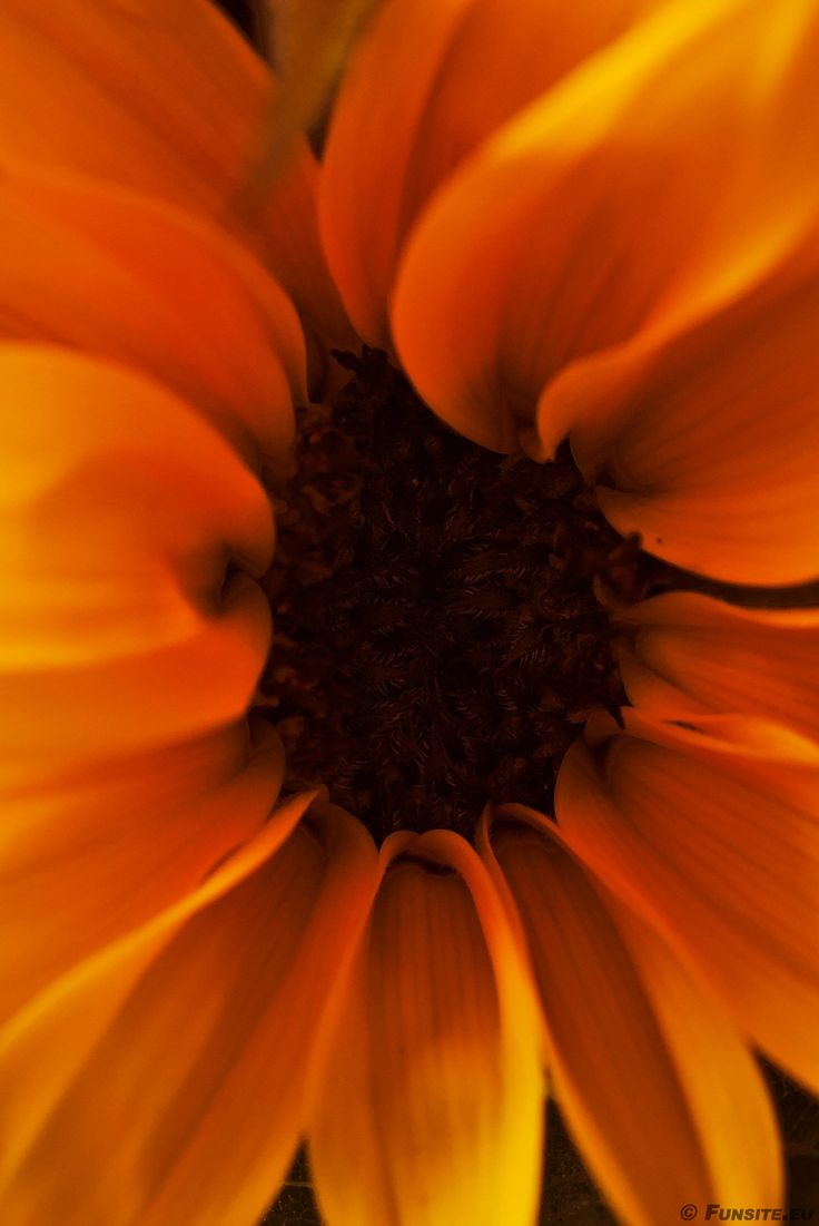 Sunflower by Gerhard Hoogterp