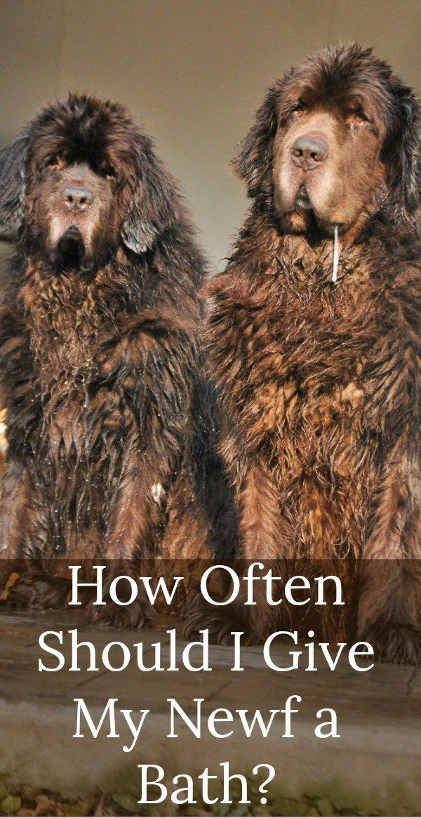 How Often Should I Give My Newf A Bath My Brown Newfies Newfoundland Puppies Newfoundland Dog Newf