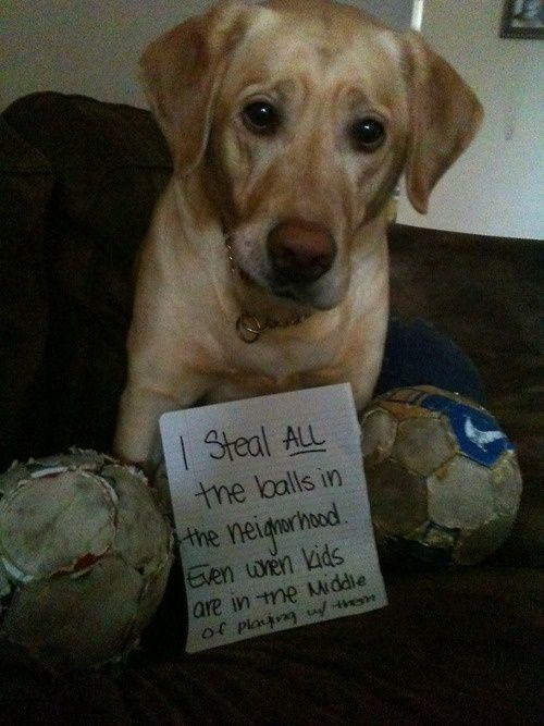 """I steal all the balls in my neighborhood, even the ones the kids are in the middle of playing with."" ~ Dog Shaming shame - Labrador - 17 Cute and Funny Dog Shaming Pics!"