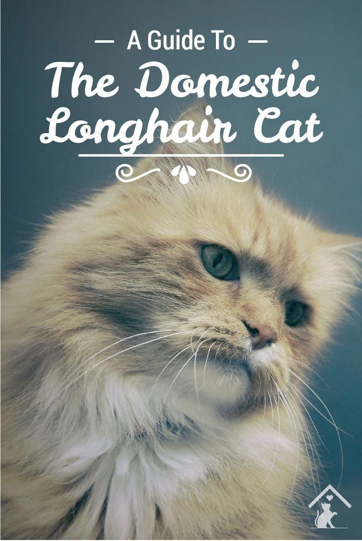 A guide to the domestic long hair cat purrfect mewsic pinterest