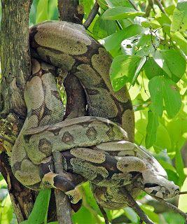 Jibóia ou Jibóia-constritora (Boa constrictor)