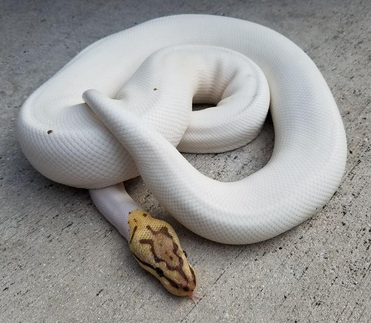 """Snakes at Sunset - Adult Spider Piebald Ball Pythonfor sale  (Python regius)  - """"Spied"""", $269.99 (http://snakesatsunset.com/adult-spider-piebald-ball-pythonfor-sale-python-regius-spied/)"""