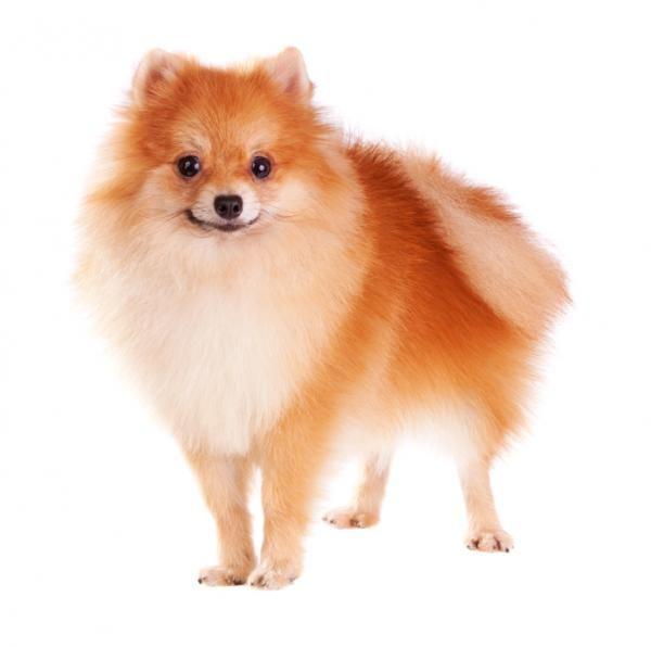 Cane Pomerania Caratteristiche Foto E Video Chiens Pomeranian Chien Toy Chien Spitz Nain