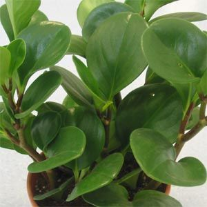 peperomia plant care   PEPEROMIA - PLANTS OF MANY HABITS.  There are SO many sub-species of this plant; all beautiful!  They do well in low light situations.  Make sure you use a well draining soil for it.  Does not like a lot of water - I water mine from the bottom using a saucer and even then, sparingly.  It lets me know when it needs water.  Use a small soft brush to keep the leaves clean.  :)