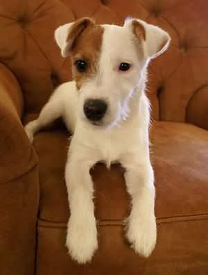 I'm ready for my close up. #jackrussell