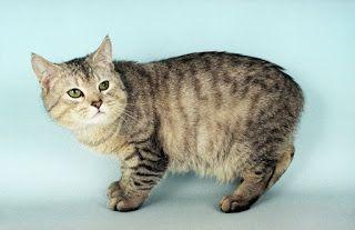 manx cat - Kucing Manx : Kucing Tanpa Ekor yang Harganya Selangit | www.agrinak.com