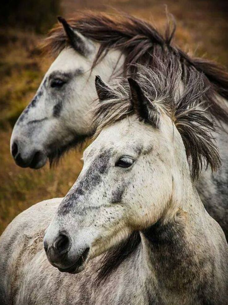 Two gorgeous Dapple grey horses. Wild mane blowing in the wind. #horse