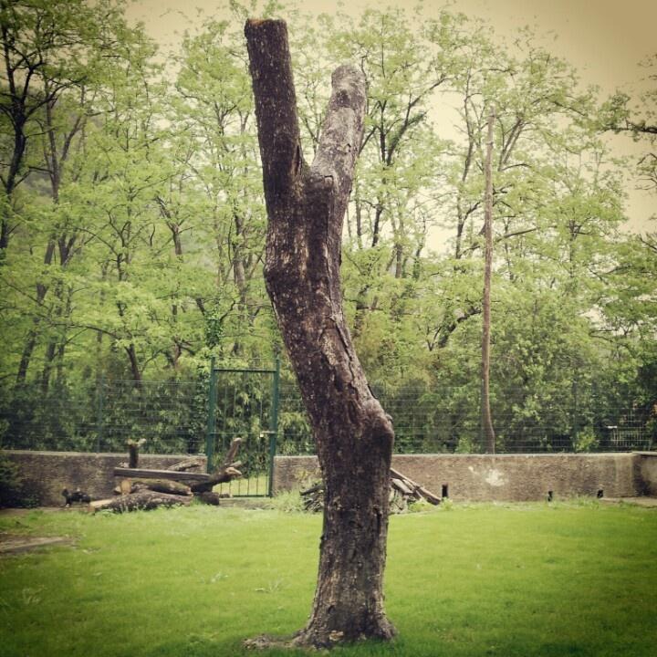 Tree crucified