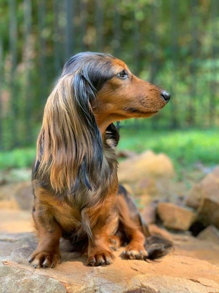 Pin By Animal Reiki Master On Teckel Dachshund Dogs Animals