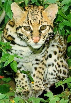 Bioma da Mata atlantica: Fauna .