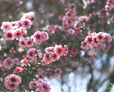 Manuka – Nature's Magic There is a wealth of evidence for the benefits of Manuka, both from traditional Maori sources and from an increasing body of scientific research.