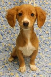 Betsy is an adoptable Dachshund Dog in Niles, IL. who is about 11 weeks old as of 02.06.13 (cutie)