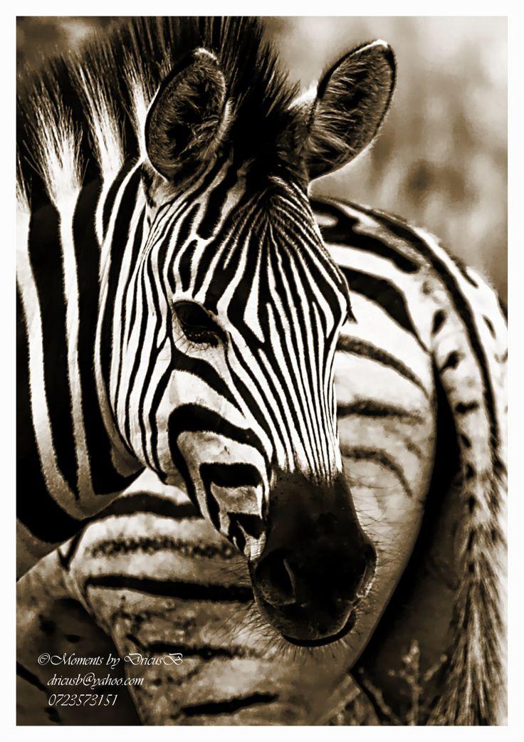 Zebra, Fort Klapperkop, Pretoria
