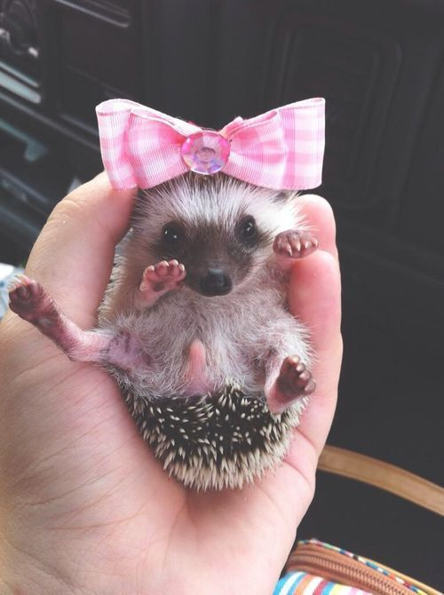 Hedge hogs are too cute especially with a bow.                                                                                                                                                                                 More