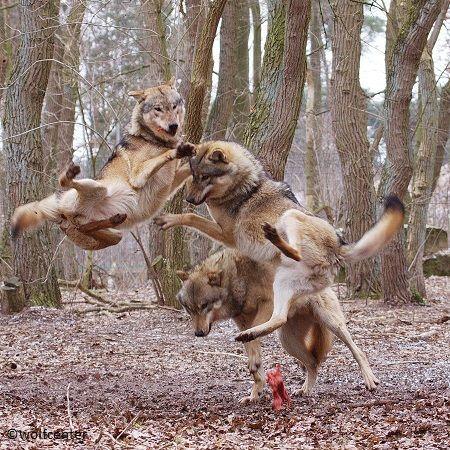 Wolf, Wolfsfütterung, fressende Wölfe, Wolfssprung – Sabine Anderson