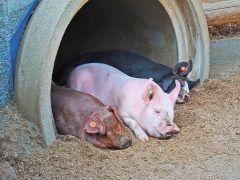 埼玉県日高市にはサイボクハムっていうおすすめ観光スポットがあるよ ハムソーセージを作っている工場やレストランや牧場温泉施設直営のミートショップなんかが集まった複合施設なんだ かわいい豚を見たり出来立てのおいしいソーセージやハム豚肉を味わえたりできるよ 意外に知られてないけど年間400万人が訪れる人気のスポット 週末のお出かけに困ったら行ってみるといいね tags[埼玉県]