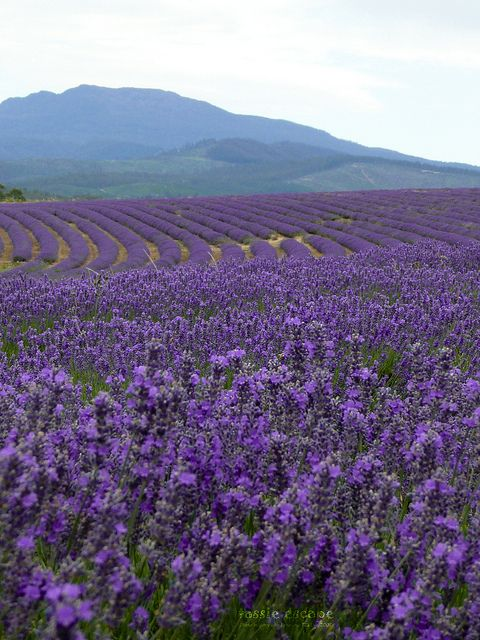 Bridestowe Estate Lavender Farm , Tasmania,Australia - Where we'd like to be right now, with a Casamigos cocktail in hand.