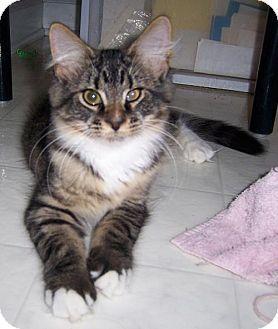 Liberty, NC - Manx. Meet Toffee, a kitten for adoption. http://www.adoptapet.com/pet/15975229-liberty-north-carolina-kitten