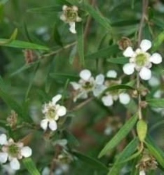 17 best summer scented shrubs images on pinterest garden plants plant size high wide an evergreen shrub or small tree with beautiful narrow aromatic leaves small white flowers are produced during summer mightylinksfo Image collections