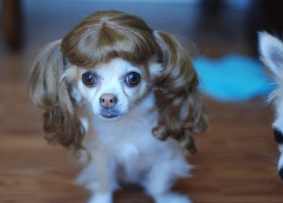 Crazy And Funny Dogs In Wigs