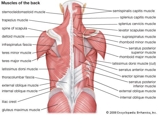 Details of the human back muscles. Most tips say that I should ...