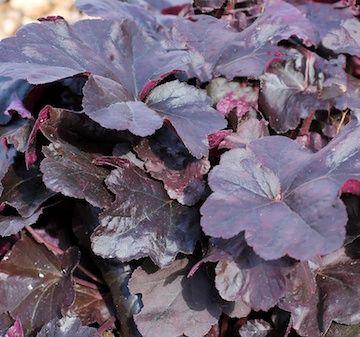 Heuchera 'Obsidian' Rödbladig Alunrot