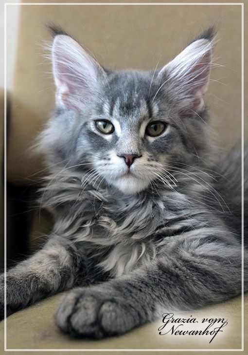 432 Best Maine Coon Cat Pictures Images On Pinterest
