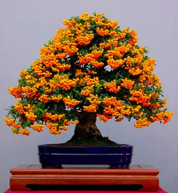 Pyracantha-Bonsai. Bonsai-art, bonsai-tree, bonsai-Japan, bonsai.