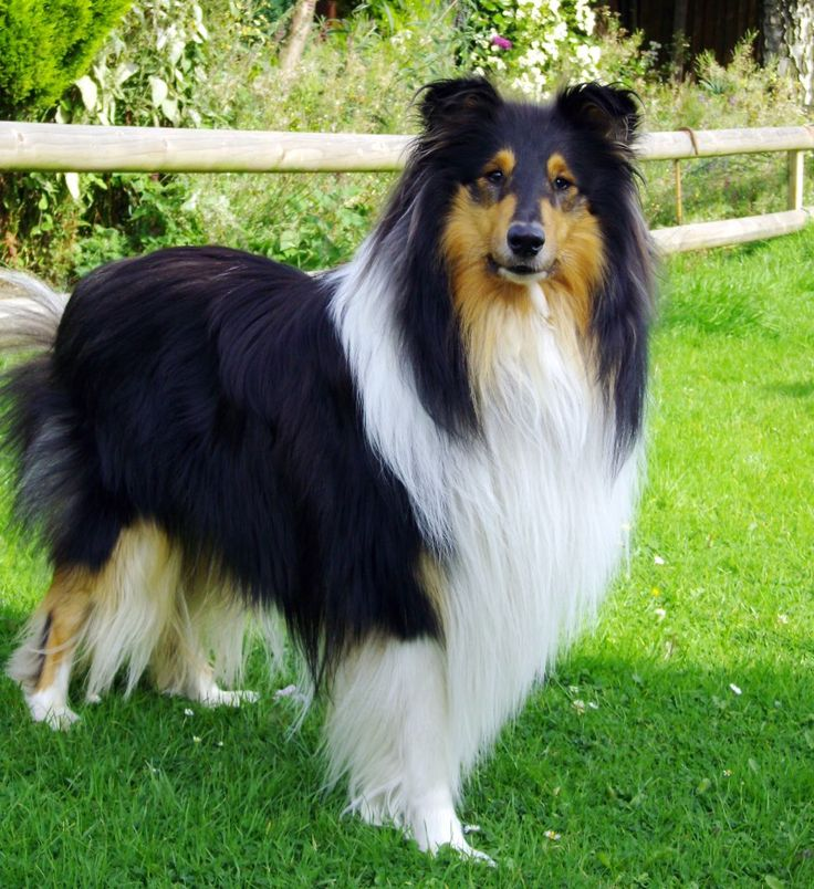 Tricolor rough collie-This looks like my Sailor boy! I miss him so much!