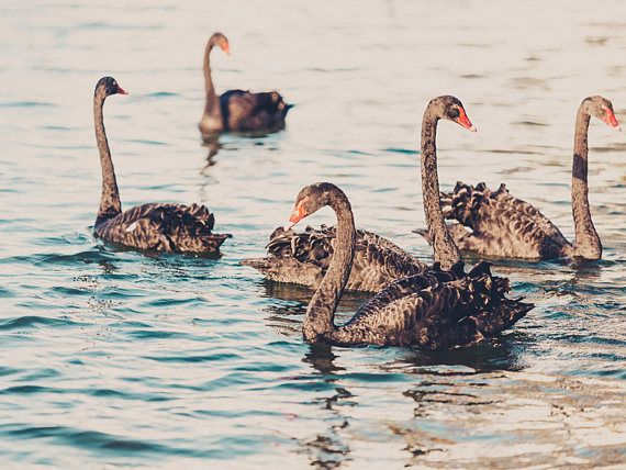 Swan Print Black Swan New Zealand Photography Lake Decor